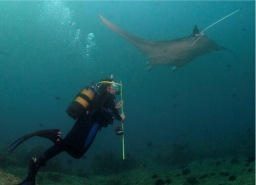 Elisabeth chasing a manta ray while conducting research in Mozambique. Image courtesy of Andrea Marshall.