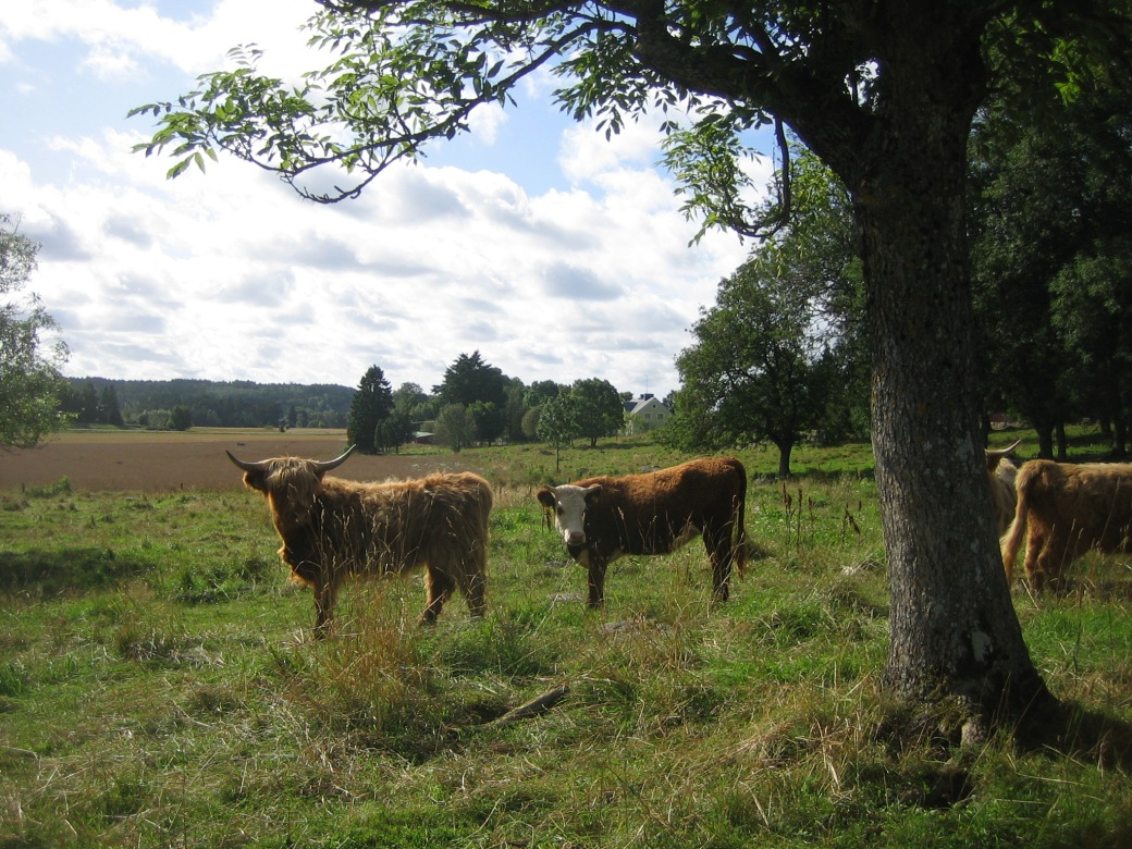 Cows on Aland islands